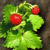 Pflanze_erdbeere01